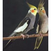 Manual Para Criação De Calopsitas - 44 Págs - Ilustrado