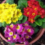Sementes Flor Primula Elatior Sortida Jardim Vaso Frtegratis