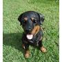 Cachorro Rottweile Em Resina Para Decoração, Basset, Beagle