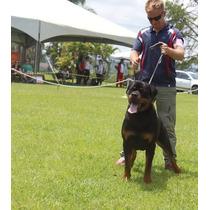 Filhotes Top Filhos Alemão Importado Adk Rottweiler