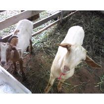 Cabra Bode Casal Cabritos Cabra Bodinho ( Oferta )