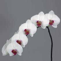 Orquidea Phalaenopsis Branca Com Roxo
