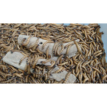 Tenebrio Gigante 100 Larvas