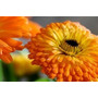 Sementes Da Flor Calêndula Medicinal #320s