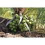 20 Mudas De Coqueiro Coco Anão Verde 90 Cm