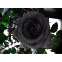 20 Sementes De Rosa Negra + Frete Gratis