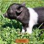 Mini Pig E Mini Porco