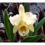 Orquídea Blc. Deltaking Cattleya Híbrida
