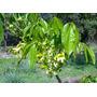 Sementes De Ipê Flor Verde Para Mudas Ou Árvore