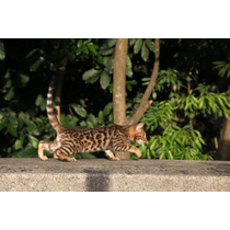 Gato Bengal - Linhagem Exclusiva - Foto Real - Filhote Macho