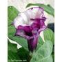 Sementes De Datura Metel (saia-roxa) - Planta Exótica