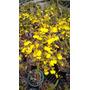 Orquídea Coppensia Flexuosum, Oncidium Flexuosum, Chuva Ouro