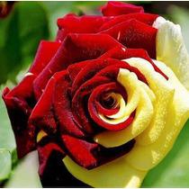 Rosa Vermelha Amarela Bonsai Flor Plantas