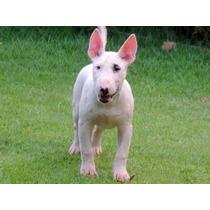 Filhote De Bull Terrier