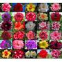 10 Sementes Rosa Do Deserto Mix Adenium Obesum+30cores Mudas