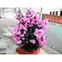 Manacá Tibouchina Mutabilis Sementes De Flor Para Mudas