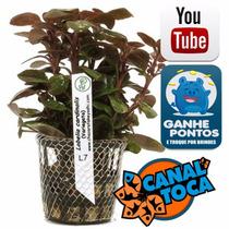 Planta Natural - Lobelia Cardinalis(variegata) - Takeyoshi