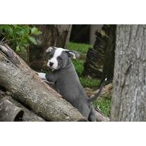 Filhotes American Pit Bull Terrier O Melhor Em Blue Nose