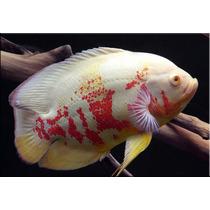 Peixe Oscar Red Tigre Albino Importado Padrão Top