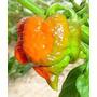Trinidad Scorpion Morouga S Nova Pimenta Atômica 10 Sementes