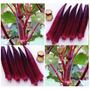 15 Sementes - Quiabo Vermelho Burgundy