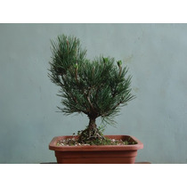 Pré-bonsai De Pinheiro Negro (pinus Thumbergi) Bonsai Jr