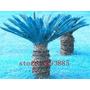 10 Sementes - Palmeira Sagu Azul + Folheto Como Plantar!