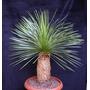 Sementes De Dasylirion Longissimun Palmeira Árvore Mexicana