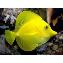 Peixe Yellow Tang - Zebrasoma Flavescens P/ Aquario Marinho.