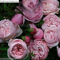 30 Rosa Gigante Trepadeira-3 Cores