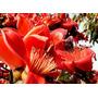 10 Sementes Da Raríssima Paineira Vermelha - Frete Grátis!!!