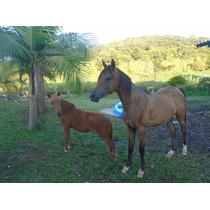 Cavalo Potro Árabe Pré Registrado Abcca,