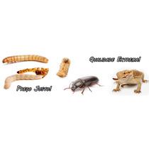 1100 Larvas Tenébrios Molitor - Imperdivel - Alimento Vivo