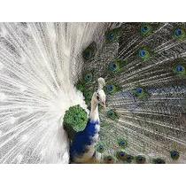 Guia Do Criador - Como Criar Pavão Aves Ornamentais