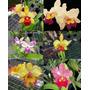C Kit De Orquídeas 6 Cattleyas Hybridas Adultas