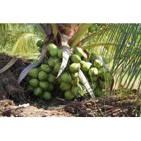 Mudas De Coco Anão Precoce Da Bahia Por 14,99