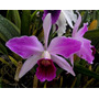 Orquidea Laelia Purpurata Var Striata Ft186