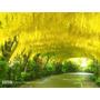 Laburnum Chuva De Ouro Wisteria Gold Sementes P/mudas Bonsai