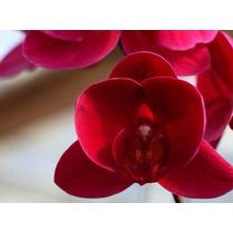 Kit 20 Sementes Raras De Orquídeas Vermelhas