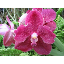 C Orquídea Vanda Sankhamphaeng X V. Patcharee´s Delight