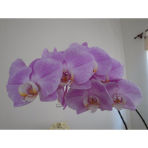 Mudas De Orquídea Phalaenopsis (butterfly Ou Borboleta)