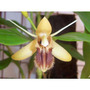 Muda Da Linda Orquídea Coelogine Fimbriata