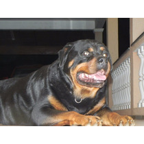 Rottweiler Filhote Gigante Alemão 80 Dias Pronta Entrega