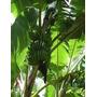 Mudas De Banana Prata Pacovan - Apenas R$ 14,90