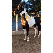 Cavalo Pampa De Preto Registrado