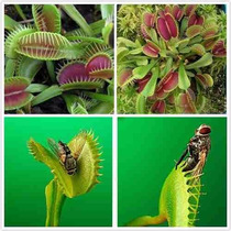 25 Sementes Planta Carnivora Venus Flytrap Dionaea Muscipula