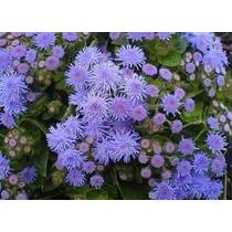 450 Sementes Da Flor Agerato Mexicano Azul #uem3