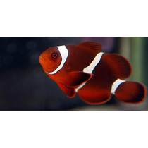 Clownfish Palhaço Golden Maroon 3cm