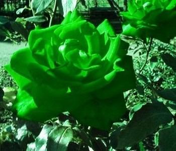 Fotos de rosas color verde imagenes car interior design - Fotos de rosas de colores ...