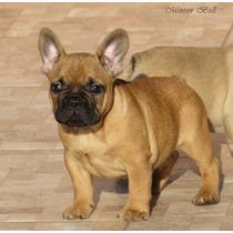 Bulldog Frances Macho , Excelente Filhote, Pedigree Cbkc...